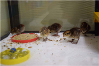 Caring for Quails at Ocean Avenue photo 4